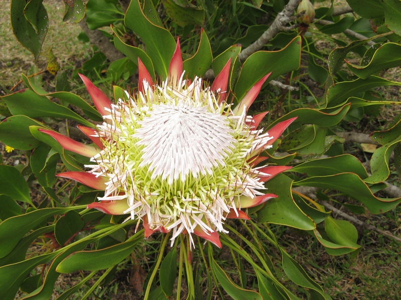 Kings Protea