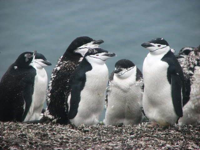 kinbandpinguins.jpg