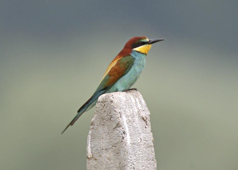 Bulgarije - Vogelreis