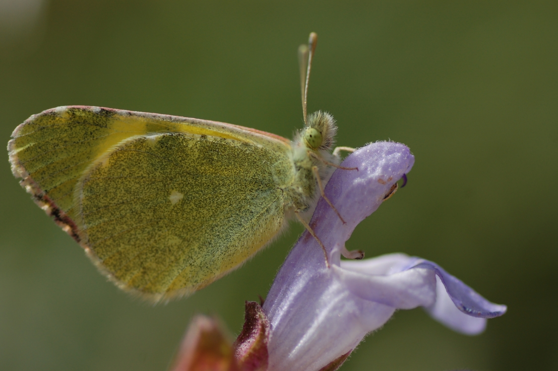 Griekenland - Rhodopen - vlinderreis