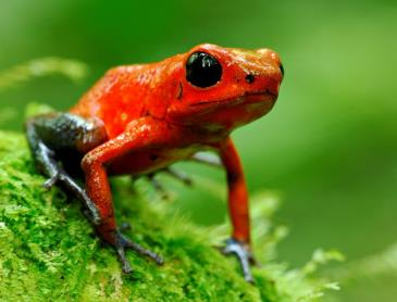CR_Blue_Jeans_poisened_dart_frog_Sarapiqui_WEB.jpg