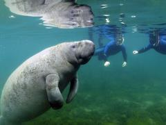swim_with_manatee.jpg