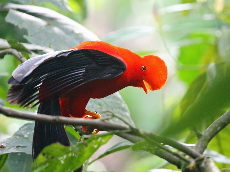CO_RiaVogels_Andean_Cock-of-the-Rock_WEB_bovenin.jpg
