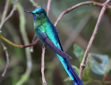 EC_Long-tailed_Sylph_Ria_Vogels_WEB.jpg
