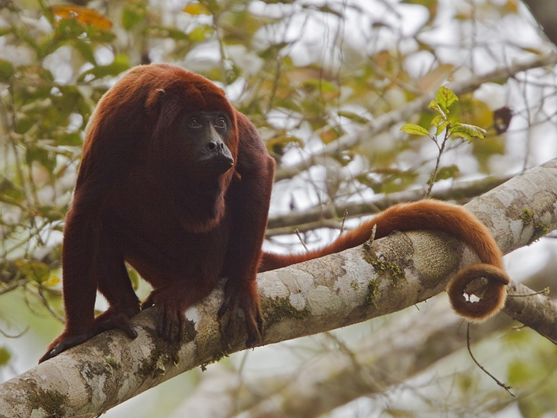 BS_-_Amazon_Mammal_-_Red_Howler_Monkey_WEB.jpg